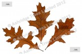 Pin Oak leaf in winter