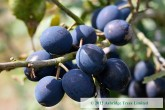 Damson Trees - King Damson