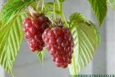 Tulameen Raspberries