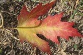 Silver Maple, Acer saccharinum, leaf