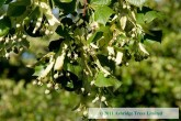 Tilia cordata in Summer