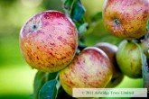Sunset Apples - easier to grow than Coxs Orange Pippin