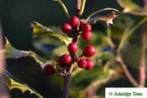 Ilex argentea Marginata (Variegated Holly) Berries