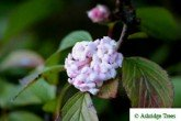 Viburnum bodnantense Dawn - Potted