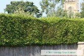 Western Red Cedar Hedge