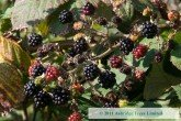 Wild Blackberries in October