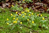 Aconites in flower in January