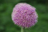Aflatunense (Allium hollandicum 'Aflatunense') allium bulbs