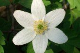 Wood anemone (Anemone Nemerosa) bulbs