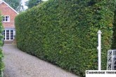 Hornbeam hedge in summer