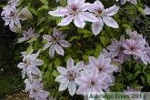Clematis - 'Nelly Moser'