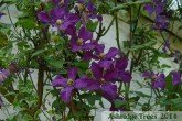 Clematis - 'Polish Spirit'