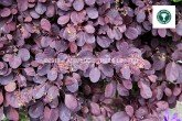 Cotinus Royal Purple foliage