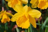 Irish Luck (Narcissus 'Irish Luck') daffodil bulbs