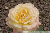 Dutch Gold - Hybrid Tea