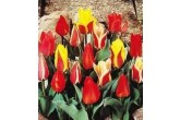 Tulip - Mixed Dwarf Tulip Bulbs