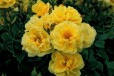 Golden Memories - Floribunda Rose