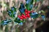 Clipped Holly Hedge & Berries