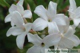 Common Jasmine flower (Jasminum officinale)