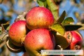 Apple Trees - Laxton Superb