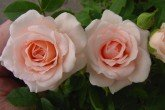 Lovely Bride - Patio Rose