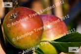 Sweet Coppin Apples