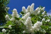 Madame Lemoine Lilac Bush