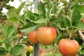 Bardsey Island Apples