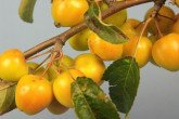 Golden Hornet Crab Apples