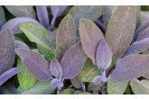 Purple Sage Leaves A