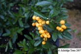 Pyracantha Golden Charmer - Potted