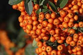 Pyracantha Orange Glow - Potted