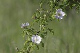Rosa arvensis flowers and leaves