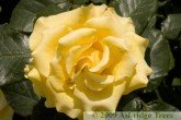 Freedom Hybrid Tea Rose