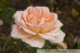 Sweet Dream - Floribunda Rose