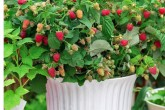 Ruby Beauty Raspberry Canes in a pot