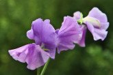 Just Julia Sweetpeas grown in root-trainers