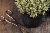 Thyme, Golden Queen - Thymus x citriodorus