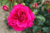 Truly Loved - Floribunda Rose
