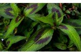 Vietnamese Coriander for Sale A