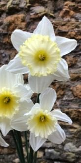 Ice Follies Narcissus