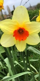 Daffodil - Fortune (Narcissus 'Fortune') bulbs