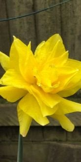 Daffodil - Golden Ducat (Narcissus 'Golden Ducat') bulbs