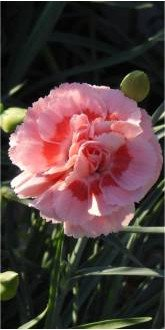 Doris Dianthus flowers