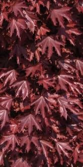 Crimson Sentry Maples