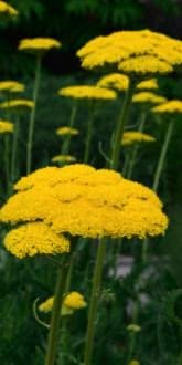 Cloth of Gold Yarrow flowers