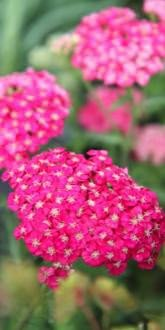 Achillea millefolium Saucy Seduction flower