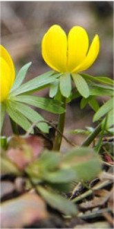 Aconite, Winter, In the Green