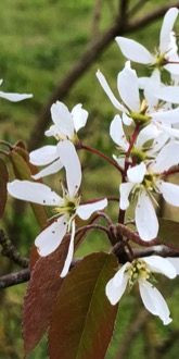 Amelanchier lamarckii in April
