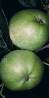 Grenadier Apples